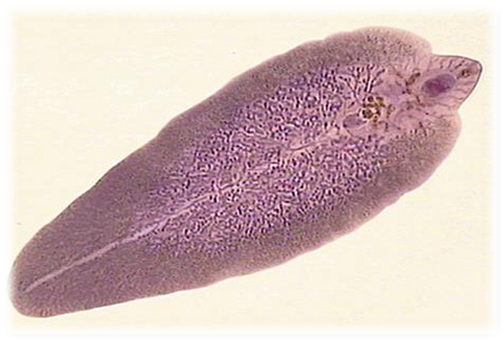 Hpv virus diskuze. Jaterni paraziti - dieta-daneza.ro